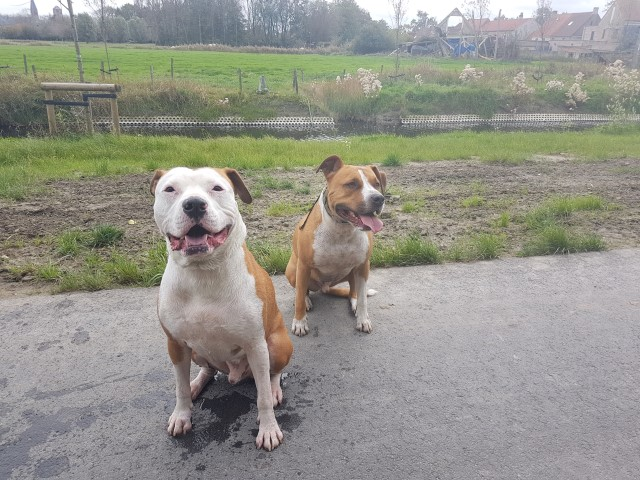 Pitbull Bob en American Stafforshire Jhake als happy dogs