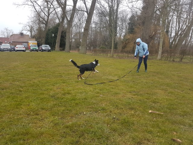 Border Collie Niuk op training 4