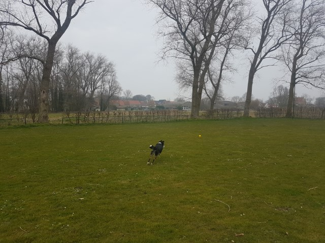Border Collie Niuk op training 3