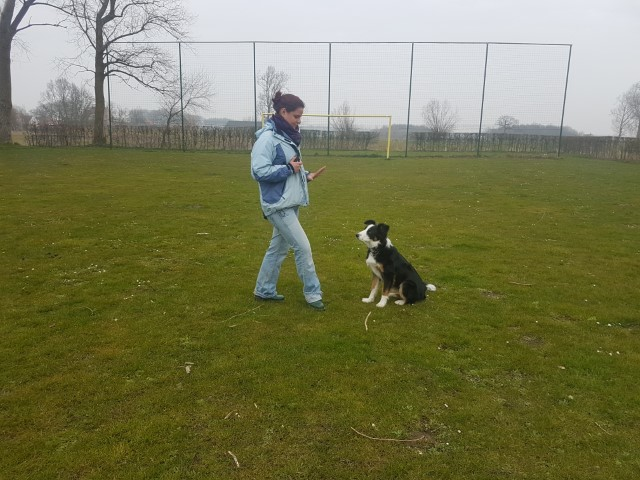 Border Collie Niuk op training 1