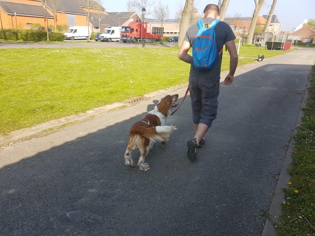Welsh Springer Spaniel Peppin wandelen aan de leiband