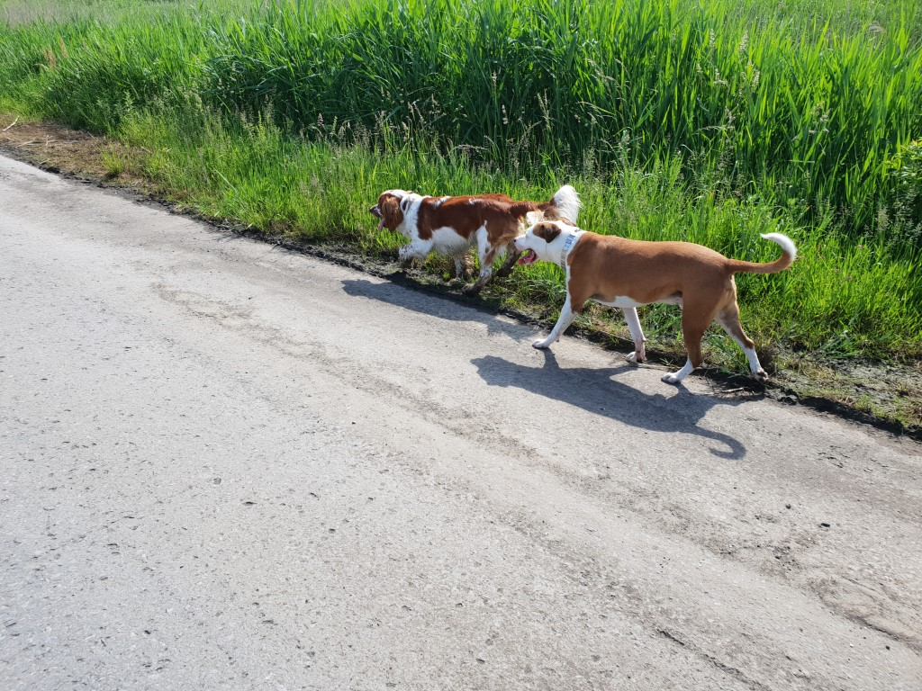 Welsh Springer Spaniel Peppin en Pitbull Bob