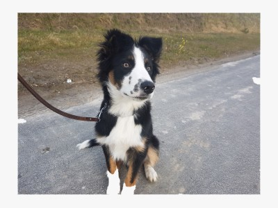 Hondentraining met Border Collie Niuk