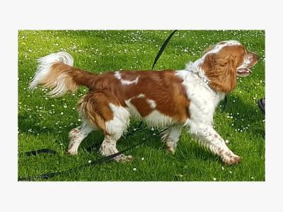 Welsh Springer Spaniel Peppin