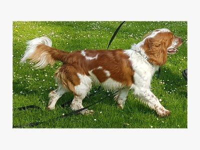Welsh Springer Spaniel Peppin
