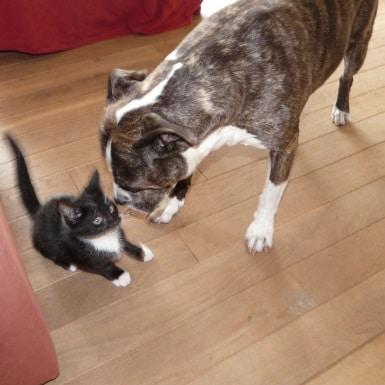 American Stafford gedragstraining met kat
