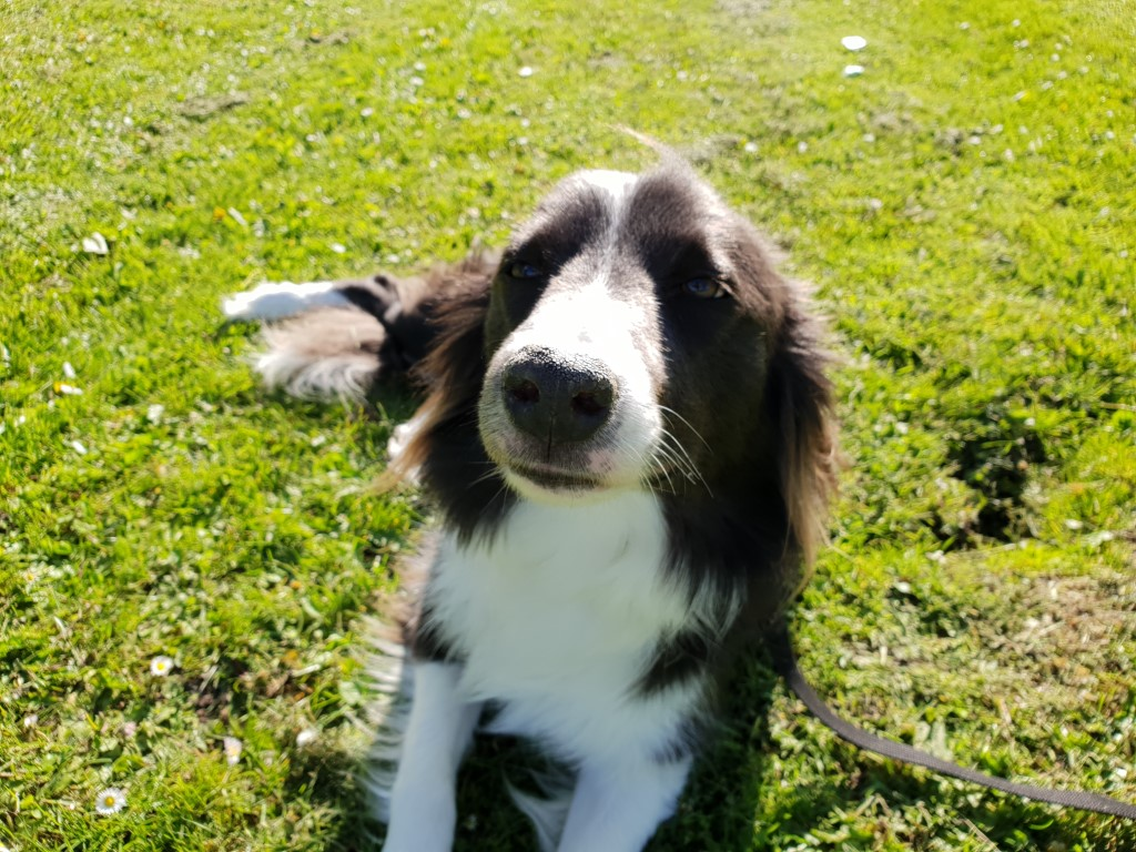 Border Collie Nando