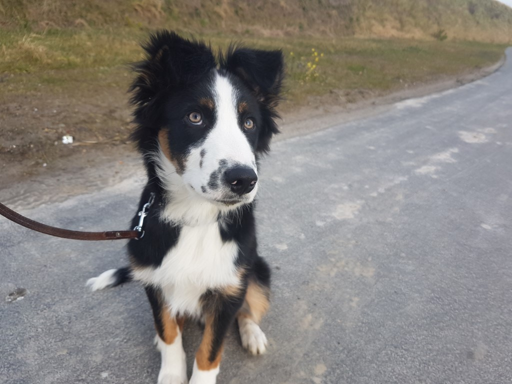 Border Collie Niuk