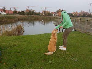Golden Retreiver Porter training