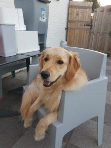Golden Retriever Porter in stoel na hondentraining