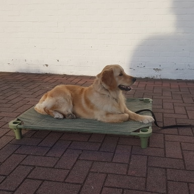 Golden Retriever Porter training naar de plaats gaan