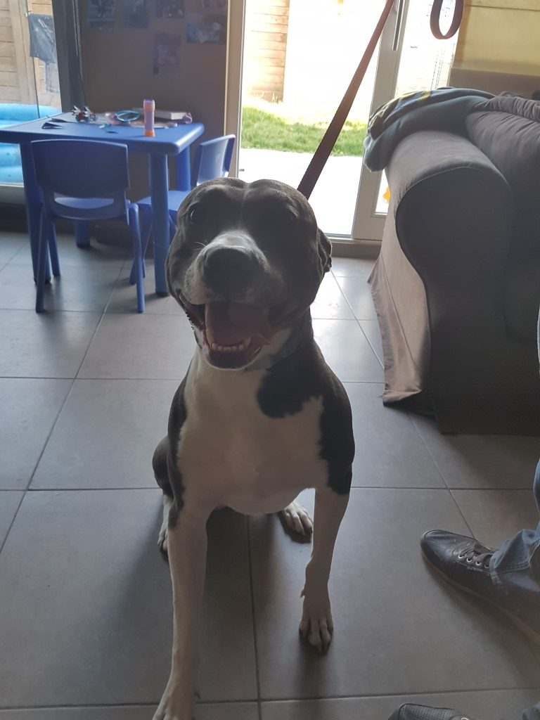 Pitbull BLUE hondentraining