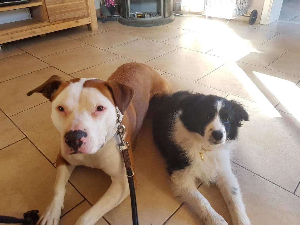 Pitbull Bob en Border Collie