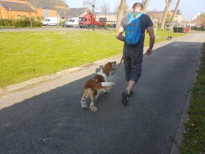 Welsh Springer Spaniel Peppin running