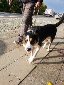 Habituatietraining met hond in Wetteren