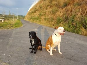 pitbull off leash training