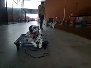 golden retriever puppytraining wandelen aan de leiband