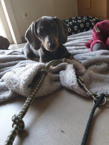 Teckel puppytraining