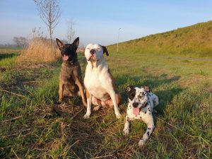Mechelaar en pitbull ecollar training