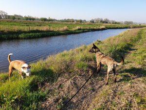 Mechelse herder en pitbull off leash training