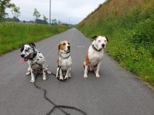 impulscontrole pitbull, beagle en dalmatiër