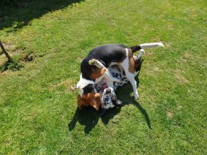 beagle en dalmatiër hondentraining