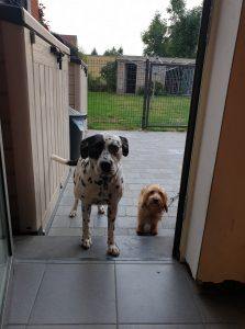 dalmatiër en ruwharige teckel wachten aan de deur