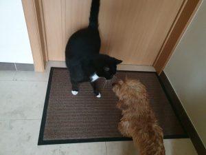 ruwharige teckel met kat