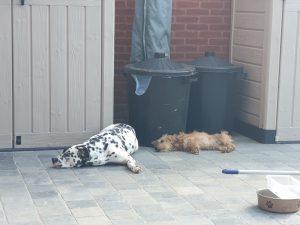 Ruwharige teckel en dalmatiër hondentraining