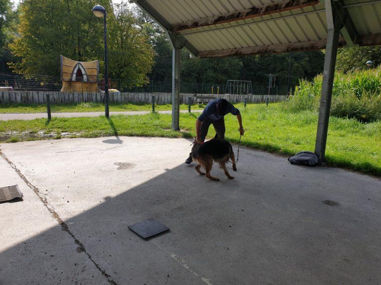 ecollar training en gehoorzaamheidstraining met duitse herder